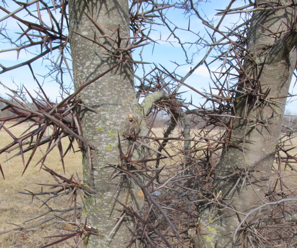 large thorny tree bing images