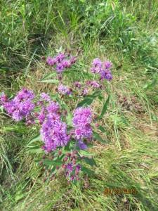 Weeds_Wild_Flowers_Cx