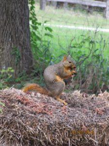 squirrel_A