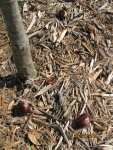 chestnuts_4